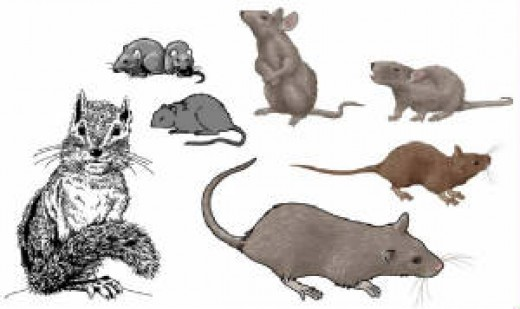 why rats and mice make better pets than hamsters or gerbils hubpages