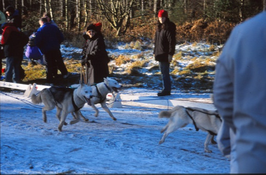 Husky race at Sherwood Pines