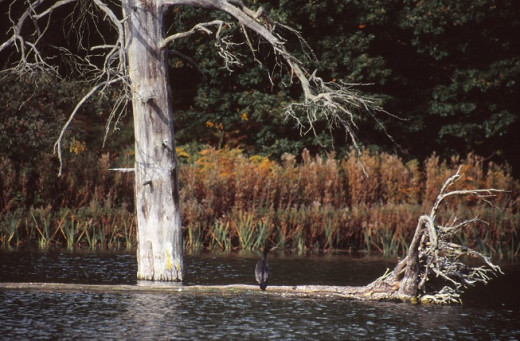 Cormorant at Clumber Park lake