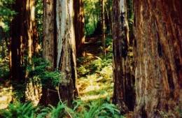 Forested area in Muir Woods