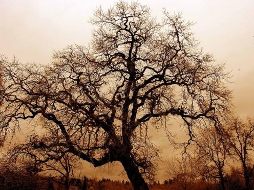 Bare Oak Tree. Portland, Oregon