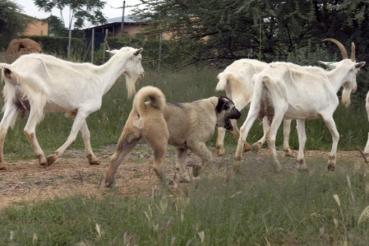 Anatolian Shepherd Dog guarding a flock of goats.
