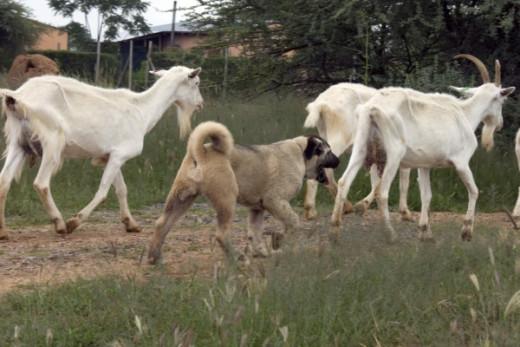 Anatolian Shepherd Dog guarding a flock of goats.