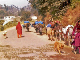 A Muslim woman with her Bakarwal Dog leading her flock.