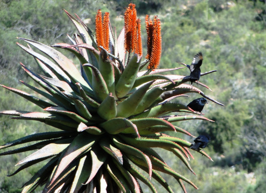 Aloes and Starlings