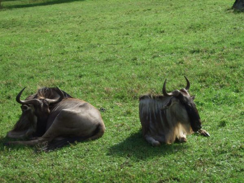 The Wildebeest taking it easy