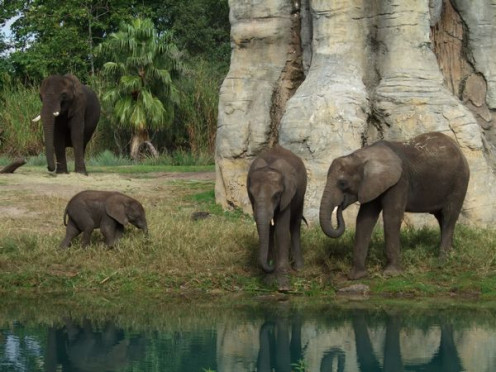 African elephants at the watering hole