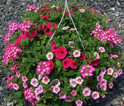 Colorfull Annual Combination Hanging Basket.  Petunia, Verbena and Calibrachoa Mini-Petunia.