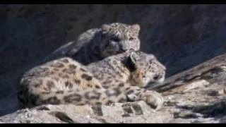 A mother snow leopard with her cub