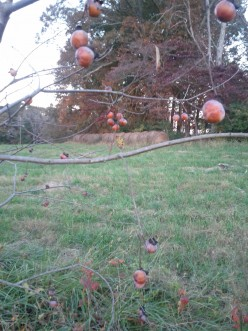 Finally ripe! These persimmons are hanging on for dear life although the leaves have been blown away.