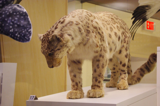 A snow leopard showcased in the Royal Ontario Museum.