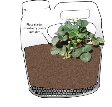 Add one young strawberry plant through the hole on each side of the planter. One plant on each side is all you will need as these tend to get quite bushy.