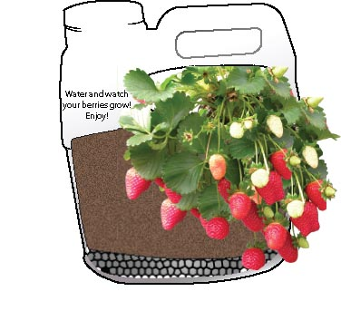 Remember to water your plants and turn them occasionally for full sun effect. Pretty soon you will be enjoying your delicious berries! With the strawberry trailers, you could start several more of these easily portable planters!