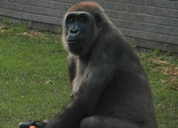 Female gorilla at Blackpool Zoo