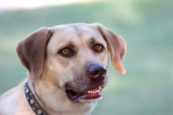 The Labrador Retriever - History, Facts and Information