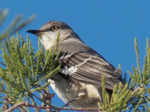 "Northern Mockingbird ""His Lordship"""
