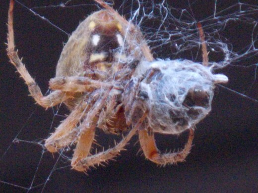 Spider wrapping silk around her catch