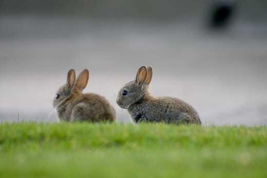 Two Rabbits Sitting in a Relaxed Mood