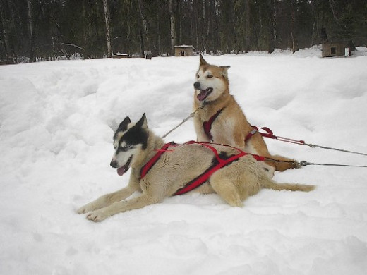 These Alaskan huskies in harness are typical of the size of dogs used today in mushing.