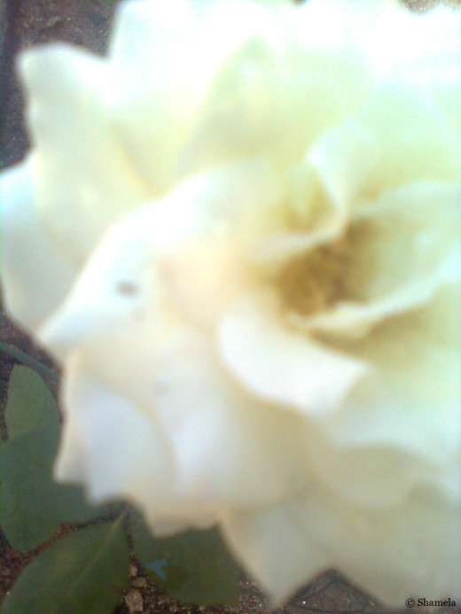 My photo of the left side of a white rose.