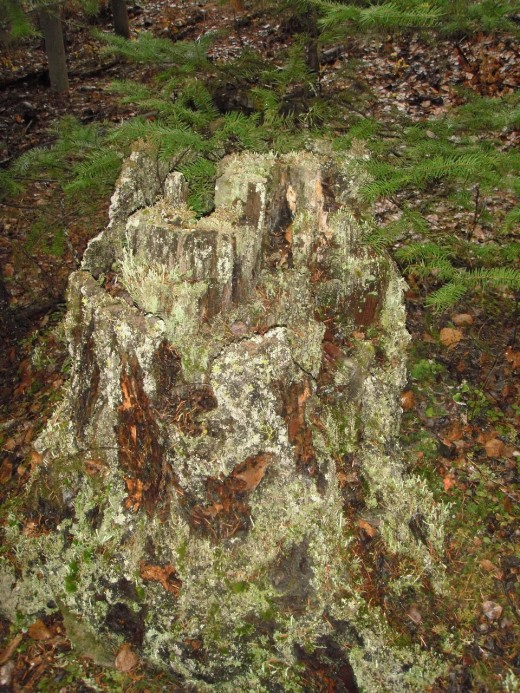 Old stump logged thirty years ago now hosts mosses and lichens.  Here the life energy from the root has sent up a second-growth trunk that will  mature into a new tree.