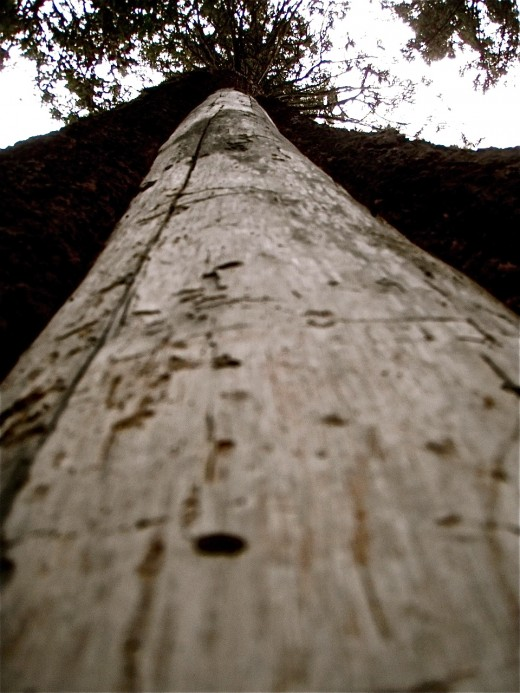 Old lightning scar on Douglas Fir