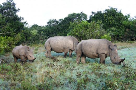 Family of Rhinos