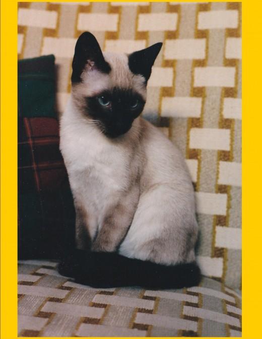 MacIntosh the Apple Head Siamese born 1999