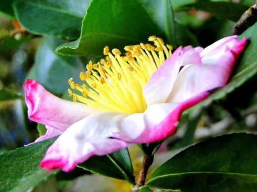 a sassanqua camellia displays her lovely golden stamens.