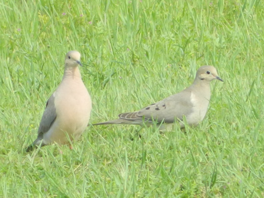 male Mourning Dove(left) and the female(right)