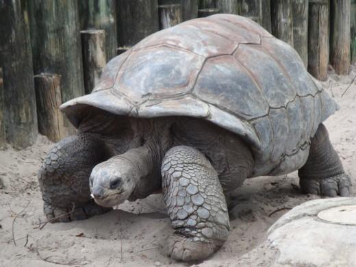Aldabra giant tortoise = Aldabrachelys gigantea = Dipsochelys dussumieri