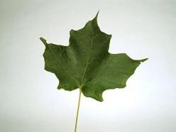 Common Deciduous Trees in Your Neighborhood (in the Ontario Region)