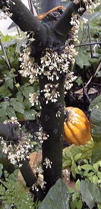 Cacao tree with flowers and fruit.