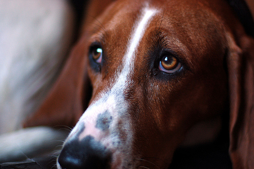 Dogs can be born anxious or become anxious.