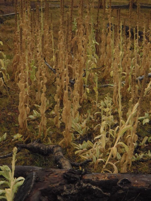 The mullein stalks have dried and scattered seeds to germinate in spring.
