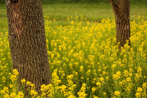 Black Mustard and Trees, Hurdle Waterfowl Park, Ashland County, Ohio