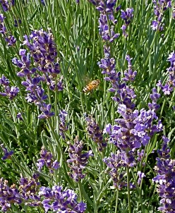 easily recognised growing wild it favours stony dry  conditions.