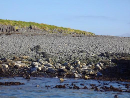 Seals on the Farne Island rocks.