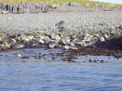 Seals basking in the sunshine in the Farne Islands.
