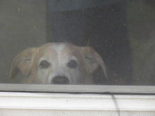 My dog Dude, watching the activity through a screen door
