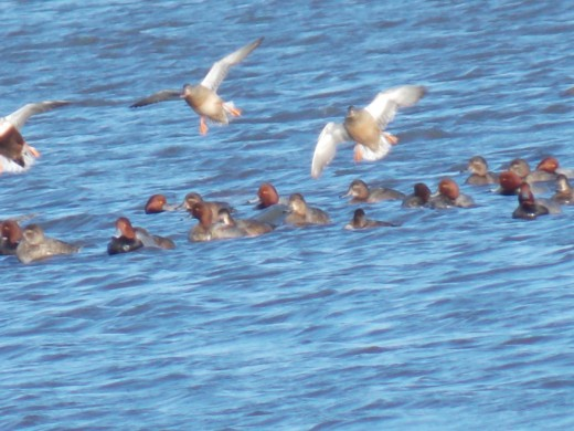 Canvasbacks, Northern Pintails, and Redheads