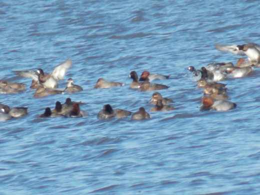 Northern Pintails and Redheads