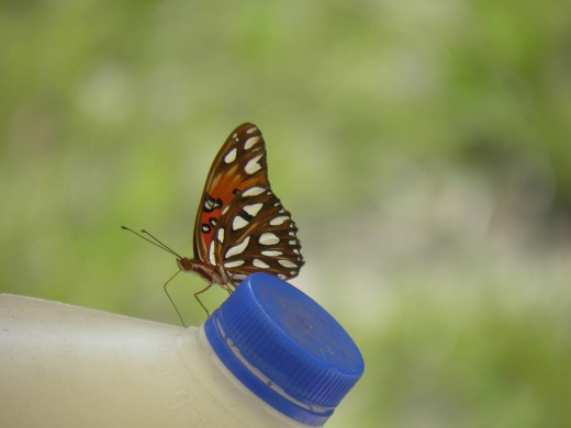 A butterfly resting on a watering jug