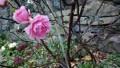Pink Rose 808