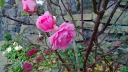Pink Rose 920