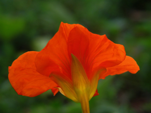 An annual nasturtium flower. You can find them in orange red and yellow, some even have variegated leaves.