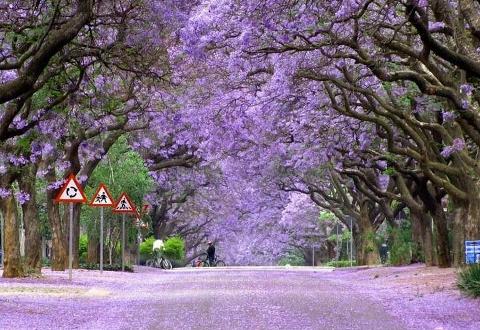 Pretoria - Jacaranda City