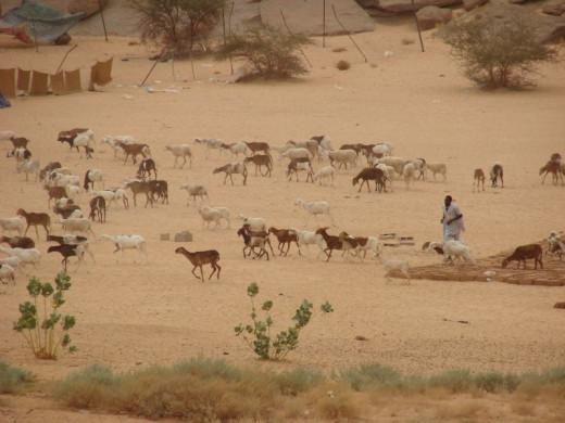 Goat herding amidst the desert scrub