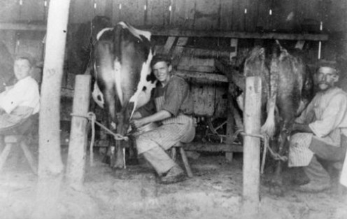 Milking by hand the traditional way