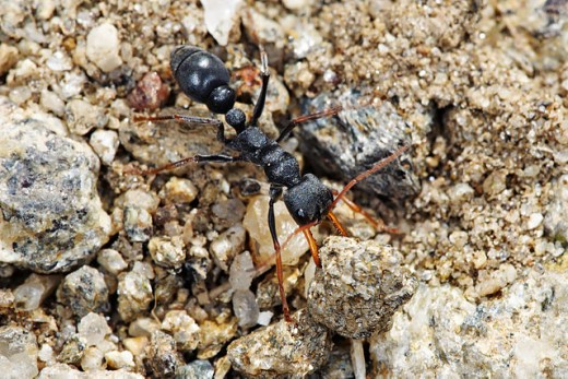 JackJumper Ants